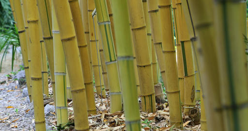Giant Bamboo Zen Forest Background Footage