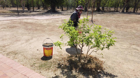 Sukhothai, Thailand - 2019-03-06 - Woman Worker Waters Trees Using Buckets of Footage