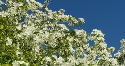lush white flowers apple trees Live Action