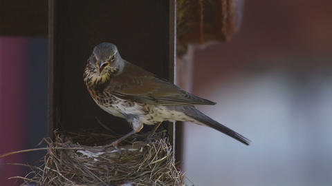 Female Fieldfare on the nest Footage