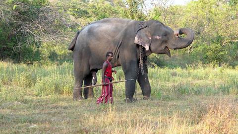 Haberna, Sri Lanka- 2019-03-22 - Elephant Handler Leads His Animal Across Field Footage