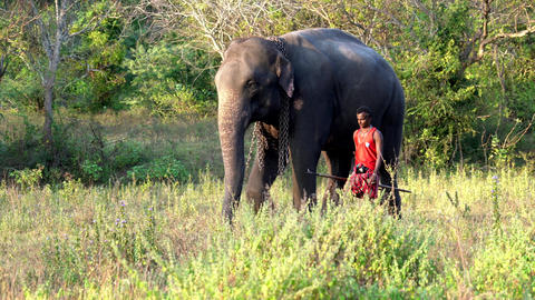 Haberna, Sri Lanka- 2019-03-22 - Elephant and His Handler Walk Side By Side Live Action