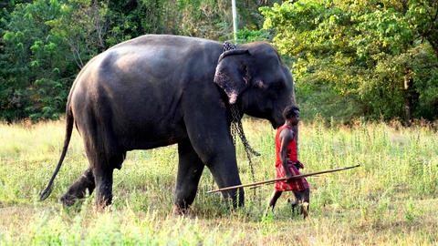 Haberna, Sri Lanka- 2019-03-22 - Elephant and His Handler Walk Through Field Footage