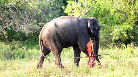 Haberna, Sri Lanka- 2019-03-22 - Elephant and Handler Walk Across Field Left to Footage