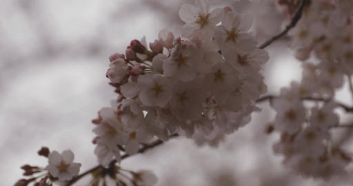 Cherry blossom at the park daytime cloudy closeup ビデオ