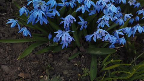 Blue Scilla flowers in garden. First spring flowers swing in wind on sunny day Footage