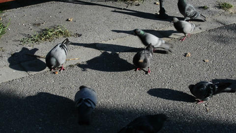 Pigeons Feeding On The Park Alley GIF