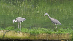 Two grey herons are hunting for fish. Ardea cinerea. Bird Live Action