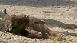 European bison bathing in a sand. Bison bonasus Footage