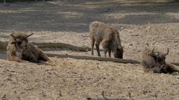 Three European bisons. Bison bonasus Footage