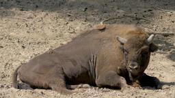 European bison. Bison bonasus Live Action