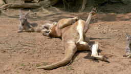 A funny kangaroo turns from one side to another side. Male among two females Live Action