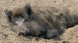 Wild boar is resting in a den Live Action