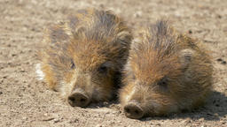 Piglets of wild boars are resting. Sus scrofa. Young, baby wild boars Live Action