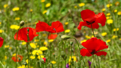 Closeup of poppies in a meadow Footage