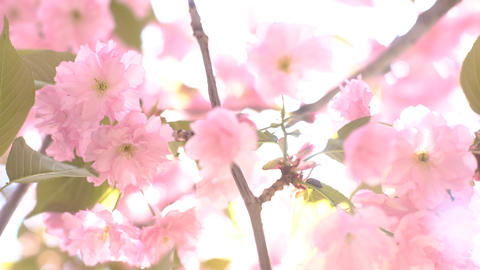4K Cherry Blossoms From Early Blooming To Full Bloom Footage