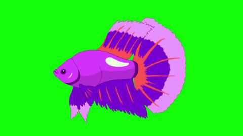 Big Purple Aquarium cockerel fish Chroma Key looped Animation