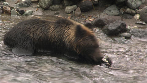 Hunting of the salmon of the brown bear Live Action