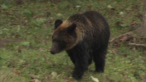 Walk scenery of the brown bear Live Action