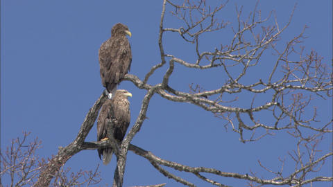 Two white-tailed sea eagles Live Action