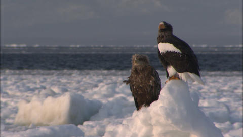 A white-tailed sea eagle and the Steller's sea-eagle which stand on drift ice Live Action