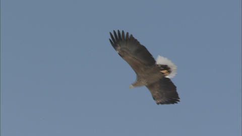 The white-tailed sea eagle which flies Live Action