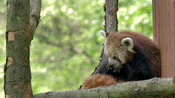 The red panda is cleaning paws. Ailurus fulgens Live Action