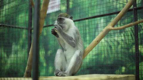 Funny monkey at the zoo Footage