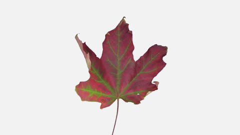 Time-lapse of drying Maple leaf with ALPHA channel, 4K time reverse Footage
