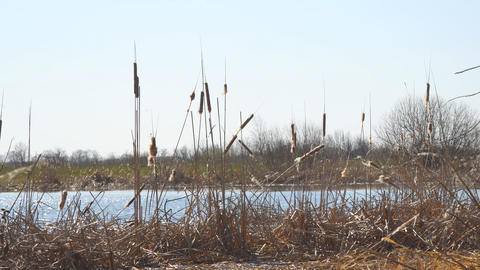 Dry swamp grass. Ripe dry cattail on the lake Live Action