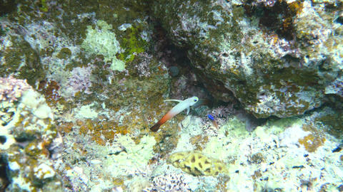 Okinawa,Japan-June 1, 2019: A pair of Nemateleotris magnifica, the fire goby, fire fish, fire Footage