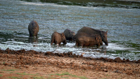 Family of Wild Boars Drink and Eat in Lake Live Action