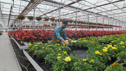 Happy Industrial Greenhouse Worker Carry Boxes Full of Flowers. Smiling and Footage
