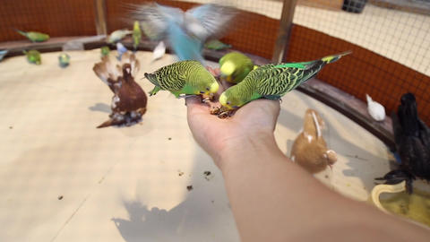 Birds parrots sit on hand and eat Footage
