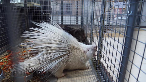Porcupines in the petting zoo Footage