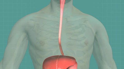 Human digestive system Animation