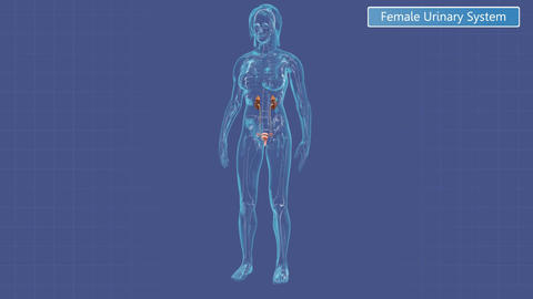 Animation of the female urinary system, Stock Animation