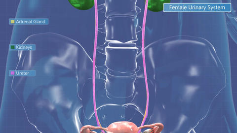Animation of the female urinary system Animation