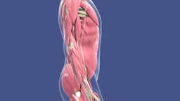 Animation of human muscular system Animation