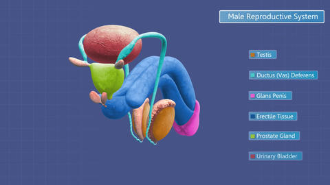 Zoom in on male reproductive system Animation