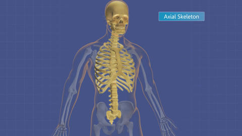 Animation highlighting the axial and appendicular skeleton Animation
