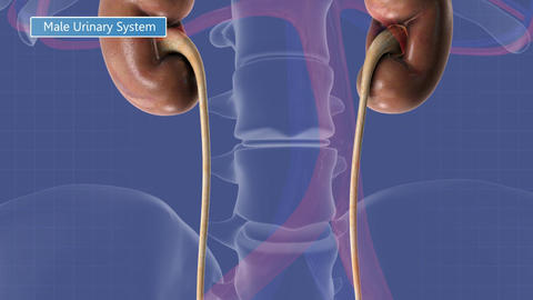 Animation of the male urinary system Animation