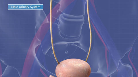 Animation of the male urinary system, Stock Animation
