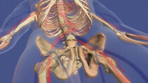 Animation of human skeletal system Animation