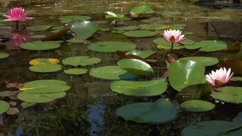 Beautiful Lotus Flowers In Pond Footage