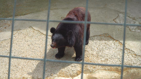 brown bear in a cage Footage
