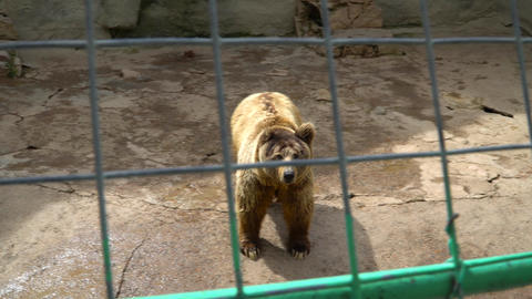 brown bear in a cage Live Action