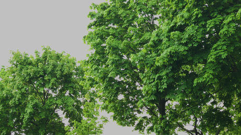 Green branches of a tree in cloudy weather Footage