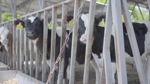 Healthy young cows on outdoor milk farm with tags waiting for their feeding in Footage