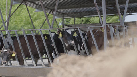 Calves feeding process on modern farm. Close up cow feeding on milk farm. Cow on Footage